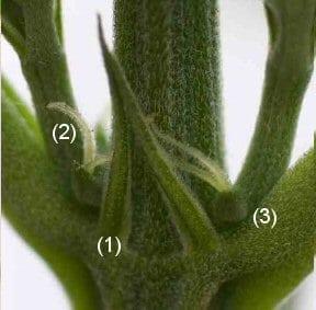 cannabis plant gender-Female Cannabis Plant