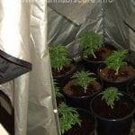 Cannabis Grow Tent 1