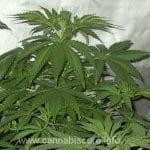 Cultivating cannabis Medical Cannabis 1