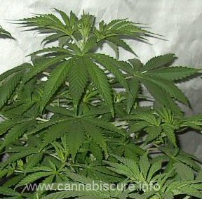 Medical Cannabis 1