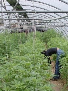 greenhouse medical cannabis cultivation